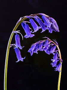 RF - Bluebell (Hyacinthoides non-scriptus) flowers on black background. (This image may be licensed either as rights managed or royalty free.)  -  Ernie Janes