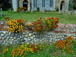 Naturalised wallflowers (Erysimum sp) growing on church wall, Norfolk, England, UK, April.  -  Ernie Janes