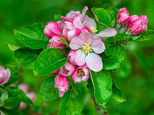 Bramley apple (Malus domestica) in flower, Norfolk, England, UK, April.  -  Ernie Janes