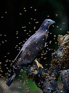 Oriental honey buzzard ( Pernis ptilorhynchus ) trying to feed with bees buzzing around, Taiwan. Controlled conditions  -  Fabian Muhlberger / Wild Wonders of China