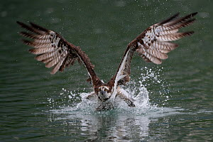 Osprey (Pandion haliaetus) plunge diving into a river outside of Taipei, Taiwan.  -  Fabian Muhlberger / Wild Wonders of China