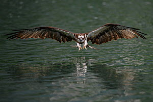 Osprey (Pandion haliaetus) about to plunge dive for a fish in a river just outside Taipei, Taiwan. ,  -  Fabian Muhlberger / Wild Wonders of China