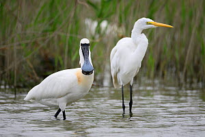 Black-faced Spoonbill, (Platalea minor) and great white egret (Ardea alba) Tainan fishponds and marshes, Taiwan.  -  Fabian Muhlberger / Wild Wonders of China