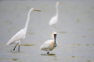 Black-faced spoonbill (Platalea minor) foraging alongside great white egret (Ardea alba) Tainan Fishponds and Marshes, Taiwan.  -  Fabian Muhlberger / Wild Wonders of China