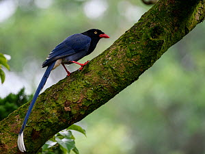 Taiwan blue magpie ( Urocissa caerulea ) perched on mossy branch, Taiwan. Endemic.  -  Fabian Muhlberger / Wild Wonders of China