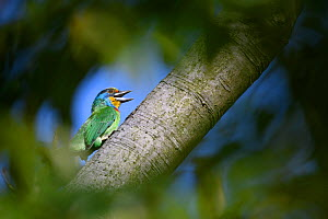 Taiwan barbet ( Psilopogon nuchalis ) , framed by foliage, in a park in Taipei, Taiwan. Endemic.  -  Fabian Muhlberger / Wild Wonders of China