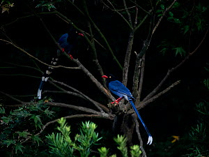 Taiwan blue magpies ( Urocissa caerulea ) perched in tree, Taiwan. Endemic.  -  Fabian Muhlberger / Wild Wonders of China