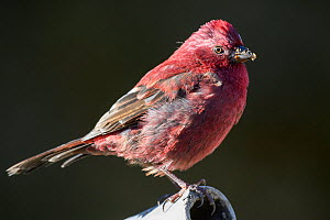 Taiwan rosefinch ( Carpodacus formosanus ) erched on a pipe, Taiwan. Endemic.  -  Fabian Muhlberger / Wild Wonders of China