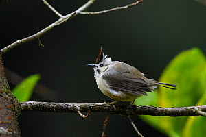 Taiwan yuhina ( Yuhina brunneiceps ) perched , Taiwan. Endemic.  -  Fabian Muhlberger / Wild Wonders of China