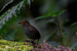 Taiwan wren babbler ( Pnoepyga formosana ) on forest floor. Taiwan. Endemic.  -  Fabian Muhlberger / Wild Wonders of China