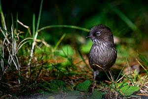Taiwan fulvetta ( Fulvetta formosana ) foraging, Taiwan. Endemic.  -  Fabian Muhlberger / Wild Wonders of China