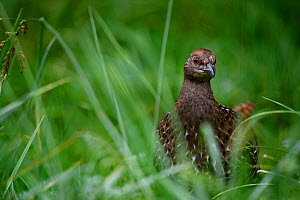 Mikado pheasant (Syrmaticus mikado) female foraging amongst grass, Taiwan.  -  Fabian Muhlberger / Wild Wonders of China