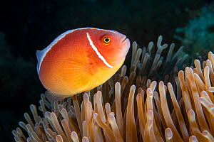 Pink anemone fish (Amphiprion perideraion) at host anemone, Green Island, Taiwan.  -  Magnus Lundgren / Wild Wonders of China