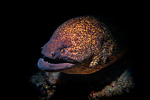 Yellow-edged moray (Gymnothorax flavimarginatus) Green Island, Taiwan.  -  Magnus Lundgren / Wild Wonders of China