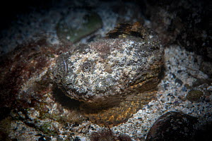 Stonefish, or Reef stonefish ( Synanceia verrucosa) Green Island, Taiwan.  -  Magnus Lundgren / Wild Wonders of China