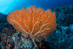 Yellow sea fan (Alcyonacea) where many colonial cnidarians are gathered. There are about 500 different species of gorgonians found in the oceans of the world. Green Island, Taiwan.  -  Magnus Lundgren / Wild Wonders of China