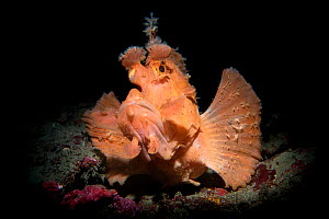 Paddle flap scorpionfish (Rhinopias eschmeyeri) Longdong (Dragon Cave), Taiwan.  -  Magnus Lundgren / Wild Wonders of China