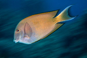 Striated surgeonfish (Ctenochaetus striatus) Green Island, Taiwan.  -  Magnus Lundgren / Wild Wonders of China