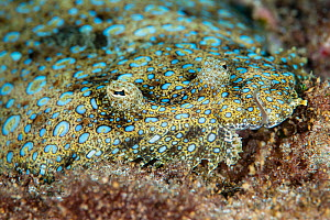 The peacock flounder (Bothus mancus), Green Island, Taiwan.  -  Magnus Lundgren / Wild Wonders of China