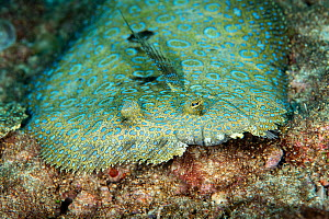 Peacock flounder (Bothus mancus), Green Island, Taiwan.  -  Magnus Lundgren / Wild Wonders of China