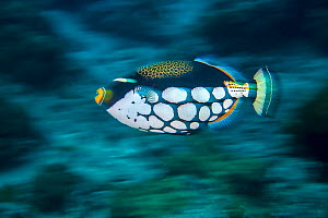 Clown triggerfish (Balistoides conspicillum) Green Island, Taiwan.  -  Magnus Lundgren / Wild Wonders of China