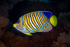 Regal angelfish (Pygoplites diacanthus)  Green Island, Taiwan.  -  Magnus Lundgren / Wild Wonders of China