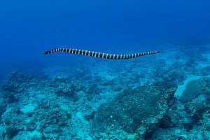 Turtleheaded sea snake (Emydocephalus annulatus) Green Island, Taiwan. The island is a small volcanic island in the Pacific Ocean famous for clear water, coral reefs and marine life in abundance.  -  Magnus Lundgren / Wild Wonders of China