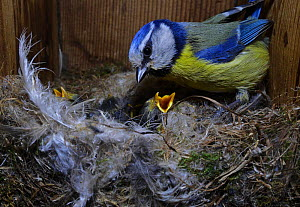 Blue Tit, (Cyanistes caeruleus) adult with chicks inside nest box in garden Norfolk, UK. Small repro only.  -  David Tipling