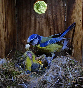 Blue Tit, (Cyanistes caeruleus) adult collecting faecal sac while tending family inside nest box in garden Norfolk, UK. Small repro only.  -  David Tipling