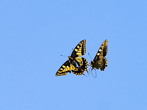 Swallowtail butterfly (Papilio machaon) two fighting, Norfolk Broads, England, UK, June  -  David Tipling