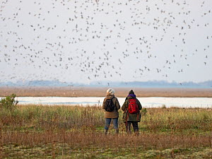 People watching the spectacular high tide Knot (Calidris canutus) roost on the Wash at Snettisham RSPB Reserve in Norfolk, England, UK, October.  -  David Tipling