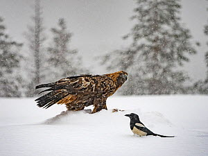 Golden eagle (Aquila chrysaetos) and Magpie (Pica pica )in snow, Kuusamo, Finland, January.  -  David Tipling