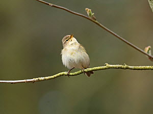 Chiffchaff (Phylloscopus collybita) in song in early spring, North Norfolk, England, UK, April.  -  David Tipling