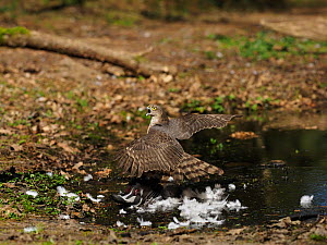 Eurasian sparrowhawk (Accipiter nisus) immature male on wood pigeon reacting to arrival of female, North Norfolk, England, UK, April.  -  David Tipling