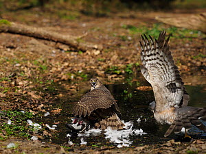 Eurasian sparrowhawk (Accipiter nisus) immature male on wood pigeon reacting to arrival of female North Norfolk, England, UK, April.  -  David Tipling