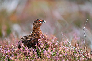 Red grouse (Lagopus lagopus scotica) male amongst flowering heather on Lochindorb grouse moor, Speyside Scotland September  -  David Tipling