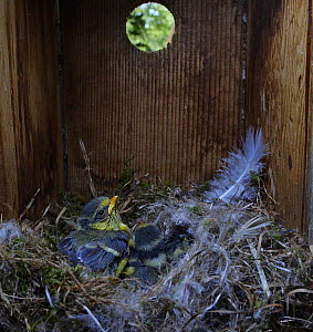 Blue tit (Cyanistes caeruleus) chicks inside nest box in garden Norfolk, UK, spring. Small repro only.  -  David Tipling