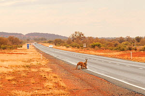Red kangaroo (Macropus rufus), two at roadside drinking water from puddles on road, a behaviour that results in collisions with vehicles. Northern Territory, Australia. 2008.  -  Enrique Lopez-Tapia
