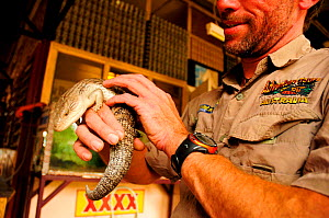 Blue tongued lizard (Tiliqua scincoides) held by Adventure Tours Australia guide, used to teach tourists about the Northern Territory. Australia. 2008. Captive.  -  Enrique Lopez-Tapia