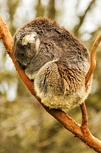 Koala (Phascolarctos cinereus) sleeping in tree fork. Phillip Island, Victoria, Australia. Captive.  -  Enrique Lopez-Tapia