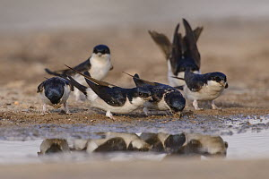 House martins (Delichon urbicum) collecting mud from puddles for nest-building. March. Donana National Park, Spain. March.  -  Oscar Dewhurst