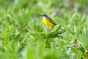 Yellow wagtail (Iberian subspecies) (Motacilla flava iberiae) perched on crop plants. Donana National Park, Spain. March.  -  Oscar Dewhurst