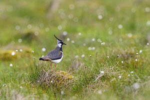Northern lapwing (Vanellus vanellus) standing on grass mound in moorland. Durham, UK. June.  -  Oscar Dewhurst
