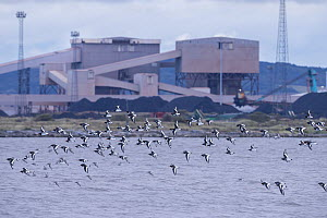 Oystercatcher (Haematopus ostralegus) and red knot (Calidris canutus) flock in flight with industrial buildingss of Teeside in the background. Durham, UK. October  -  Oscar Dewhurst