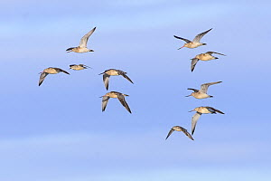 Bar-tailed godwit (Limosa lapponica) and red knot (Calidris canutus) in flight. Durham, UK. October.  -  Oscar Dewhurst