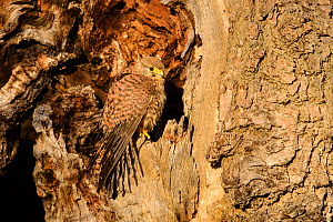 Kestrel (Falco tinnunculus) female perched at the edge of a hole in a tree trunk. London, UK. January.  -  Oscar Dewhurst