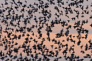 Starling (Sturnus vulgaris) murmuration against the sky at sunset. Suffolk, UK. July  -  Oscar Dewhurst