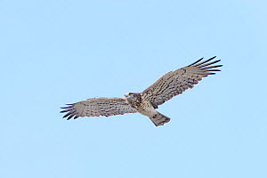 Short-toed (snake) eagle (Circaetus gallicus) in flight. Extremadura, Spain. March  -  Oscar Dewhurst