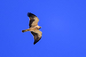 Booted eagle (Hieraaetus pennatus) pale morph in flight. Extremadura, Spain. Croped  -  Oscar Dewhurst
