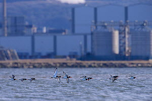 Oystercatcher (Haematopus ostralegus) flock flying low over the sea with industrial buildings of Teeside in the background. Durham, UK. January  -  Oscar Dewhurst
